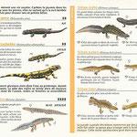 """miniguide La Salamandre  """"Amphibiens"""""""