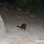 Mülljäger: Opossum