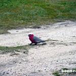 Papageien auf Futtersuche an unserem Zelt