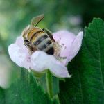 hier befruchtet die Biene gerade eine Quitten-Blüte