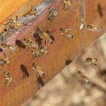 Fleissige Bienen im Frühling