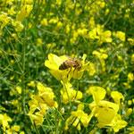 Biene auf Raps-Blüte