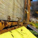 Die Bienen sammeln fleissig Pollen zur Ernährung des Nachwuchses