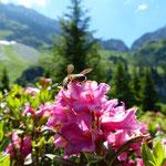Biene in der Alpenrose - auf rund 1800 Metern hoch über dem Brecca-Schlund
