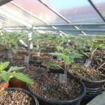 Die veredelte Tomaten müssen noch etwas wachsen vor dem Pflanzen