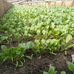 Spinat im Wachstum
