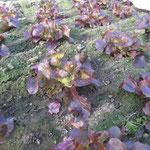 Lollo Rosso vor 4 Wo. gepflanzt