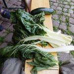 Manggold, ein tolle Gemüse, es wächst und wächst und wächst