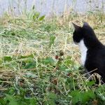 mau die Katz. eine echte Mäusekatze diese hier. Ich würde sie gerne auf Schnecken abrichten, da wäre sie schon kugel rund.