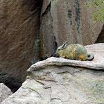 Berg-Viscacha, eine Nagetiertierart aus der Familie der Chinchillas