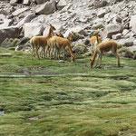 Vikunja, wildlebende Lamaart mit feinem Fell zur Isolierung gegen Kälte. Das Vikunja ist neben dem Alpaka eine der beiden Arten der Gattung Vicugna und gehört zur Familie der Kamele.