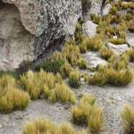 Stachelgras (coyron)