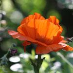 Fantasie & Wirklichkeit Fotografien und Gedichte Kathrin Steiger Frühling Mohnblume märchenhaft verträumt schön romantisch