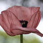 Fantasie & Wirklichkeit Fotografien und Gedichte Kathrin Steiger Mohnblume rosa Mohn Frühling märchenhaft verträumt schön romantisch