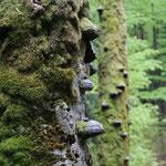 Faszinierende Totholzstämme säumen unseren Weg