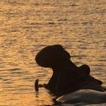 Vom Boot aus Hippos im Sonnenuntergang beobachten