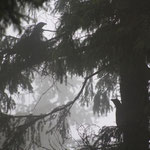 Romania - Experience Wilderness Eastern Carpathians - Auerhähne (Tetrao urogallus)