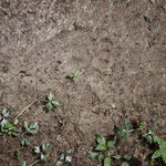 Croatia - Experience Wilderness Risnjak National Park - Brown Bear footprint