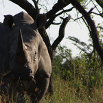 South Africa - Hluhluwe Imfolozi Park Wilderness Trail - White Rhino