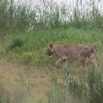South Africa - Hluhluwe Imfolozi Park Wilderness Trail - Lioness