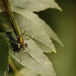 """Die wunderschönen """"Gebänderten Prachtlibellen"""" (Calopteryx splendens) lassen sich hervorragend beobachten"""