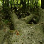 ... und klettern über mächtige Baumstämme.