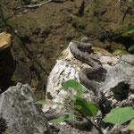 Plötzlich entdecken wir eine Würfelnatter (Natrix tessellata)