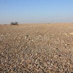 Oman - Jiddat al Harasis - Gravel desert