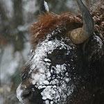 Schnee-Safari in den Waldkarpaten - Auf der Suche nach dem Wisent (Foto: Wojciech Juda)