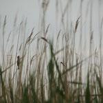 """Schilfexkursion"" - Drosselrohrsänger (Acrocephalus arundinaceus) begleiten uns"