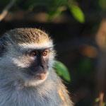Zambia - Kafue National Park - Vervet Monkey