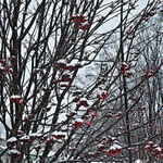Иван А., 2а кл. Рябина под снегом