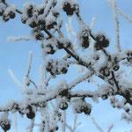 Виктория Г., 2а кл. Ягоды под снегом
