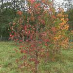 Erable Champètre automne