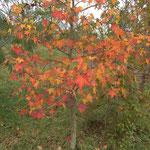 Erable Pourpre automne