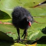 Wasservogel. - Leverkusen, Japanischer Garten