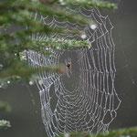 Spinne im Regen. - Braunlage