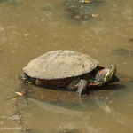 Schildkröte. - Rheda-Wiedenbrück