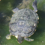 Schildkröte. - Leverkusen, Japanischer Garten