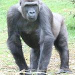 Gorilla. - Arnheim, Burgers Zoo