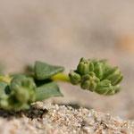 Polycarpon tetraphyllum subsp. alsinifolium - Corse - Avril 2010