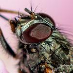Ausschnitt Blüte mit einer Fliege - Nikon D7100, f/10, 1/200 Sek, 105 mm