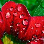 Blüte im Regen - Nikon D200, f/14, 1/30 Sek, 105mm
