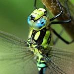 Libelle - Nikon D200, f/6.3, 1/125 Sek, 105mm