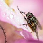 Blüte mit einer Fliege - Nikon D7100, f/10, 1/200 Sek, 105 mm