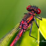Libelle - Nikon D200, f/7.1, 1/250 Sek, 105mm