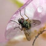Blüte mit einer Fliege - Nikon D7100, f/10, 1/160 Sek, 105 mm