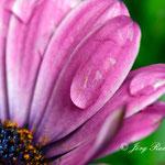 Blüte im Regen - Nikon D200, f/10, 1/60 Sek, 105mm