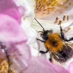 Blüte mit einer Hummel - Nikon D7100, f/10, 1/200 Sek, 105 mm