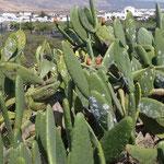 Plantations de cactus autour du village de Mala, au Nord-Est de l'île